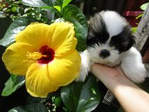 Fleur de Gumamela contre le chiot Image libre de droits