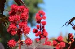 Fleur de haricot d'huile de ricin Image libre de droits