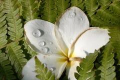 Fleur de Hawaiin avec des baisses de pluie Image libre de droits