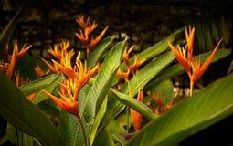 Fleur de Heliconia Photo libre de droits