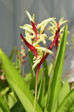 Fleur de Heliconia Photos libres de droits