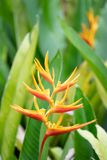 Fleur de Heliconia Psittacorum Images stock
