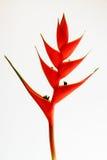 Fleur de Heliconias sur un fond blanc Photographie stock libre de droits