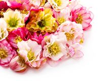 Fleur de Hellebore ou orientalis de Helleborus d'isolement sur le blanc image stock