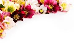 Fleur de Hellebore ou orientalis de Helleborus d'isolement sur le blanc photo stock