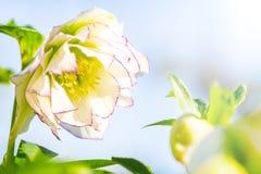 Fleur de Hellebore ou orientalis de Helleborus d'isolement sur le bleu images stock