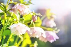 Fleur de Hellebore ou orientalis de Helleborus sur le bokeh image libre de droits