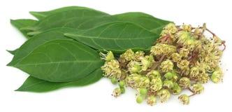 Fleur de henné d'Ayurvedic avec des feuilles photos stock