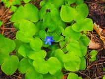 Fleur de Hepatica avec les feuilles vertes Image libre de droits