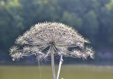 Fleur de Heracleum Photographie stock
