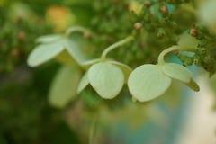 Fleur de Hortensia Photographie stock libre de droits