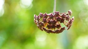 Fleur de Hoya de plan rapproché clips vidéos