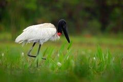 Fleur de Jabiru en mars Oiseau, mycteria de Jabiru, noir et blanc dans l'eau verte avec des fleurs, Pantanal, Brésil, scène f de  Photo stock