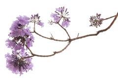 Fleur de Jacaranda d'isolement photographie stock libre de droits