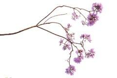 Fleur de Jacaranda d'isolement sur le fond blanc photographie stock libre de droits