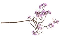 Fleur de Jacaranda d'isolement sur le fond blanc image libre de droits