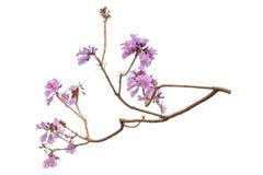 Fleur de Jacaranda d'isolement sur le fond blanc photo libre de droits