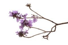Fleur de Jacaranda d'isolement sur le fond blanc photo stock