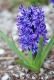 Fleur de jacinthe Photo libre de droits