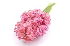 Fleur de jacinthe Photos libres de droits