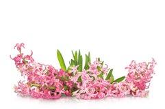 Fleur de jacinthe au-dessus du fond blanc Image libre de droits
