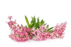 Fleur de jacinthe au-dessus du fond blanc Photographie stock libre de droits