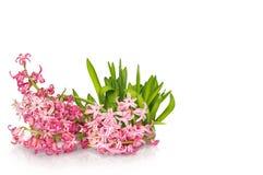 Fleur de jacinthe au-dessus du fond blanc Images libres de droits