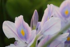 Fleur de jacinthe d'eau images libres de droits