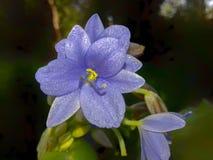 Fleur de fleur de jacinthe d'eau bleue dans l'étang photo stock