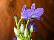 Fleur de jacinthe d'eau bleue fleurissant en nature photographie stock libre de droits