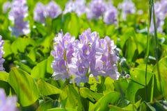 Fleur de jacinthe d'eau dans des sources d'eau naturelles Photo libre de droits
