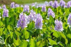 Fleur de jacinthe d'eau dans des sources d'eau naturelles Photo stock