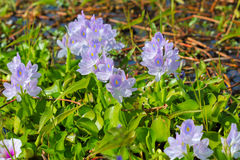 Fleur de jacinthe d'eau dans des sources d'eau naturelles Image stock