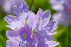 Fleur de jacinthe d'eau dans des sources d'eau naturelles Photographie stock libre de droits