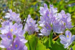 Fleur de jacinthe d'eau dans des sources d'eau naturelles Photographie stock