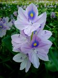 Fleur de fleur de jacinthe d'eau pendant l'hiver images stock