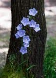 Fleur de jacinthe des bois Photos stock
