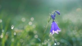 Fleur de jacinthe des bois fleurissant en rosée de matin dans la lumière du soleil sur le pré vert Mouvement lent clips vidéos