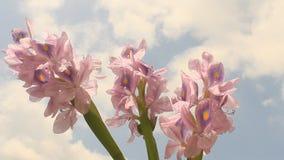 Fleur de jacinthe sur le ciel bleu banque de vidéos