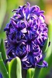 Fleur de jacinthe sur un parterre photo stock
