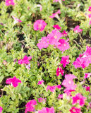 Fleur de jalapa de Mirabilis Image stock