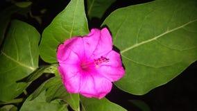 Fleur de jalapa de Mirabilis photo stock