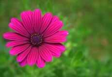 Fleur de jardin Photographie stock