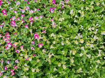 Fleur de jardin, champ de fleur de marguerite Photo stock