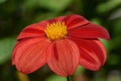 Fleur de jardin d'Echinacea médicinale avec les pétales rouges et le centre jaune photos libres de droits