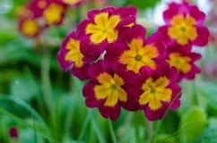 Fleur de jardin de primevère Photo stock