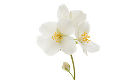 fleur de jasmin d'isolement Photographie stock