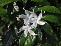 Fleur de jasmin de trois blancs fleurissant sur le soleil images stock