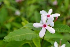 Fleur de jasminoides de gardénia image libre de droits