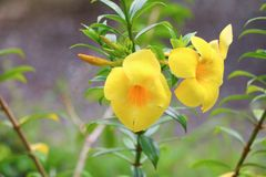 Fleur de jaune de cathartica d'Allamanda à la belle fleur saule-leaved de grimpeur de trompette d'or images stock